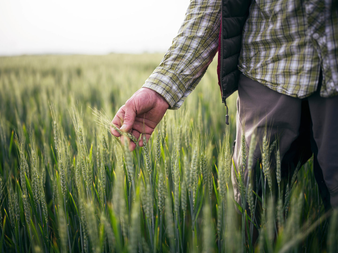 Man inspecting wheat in field