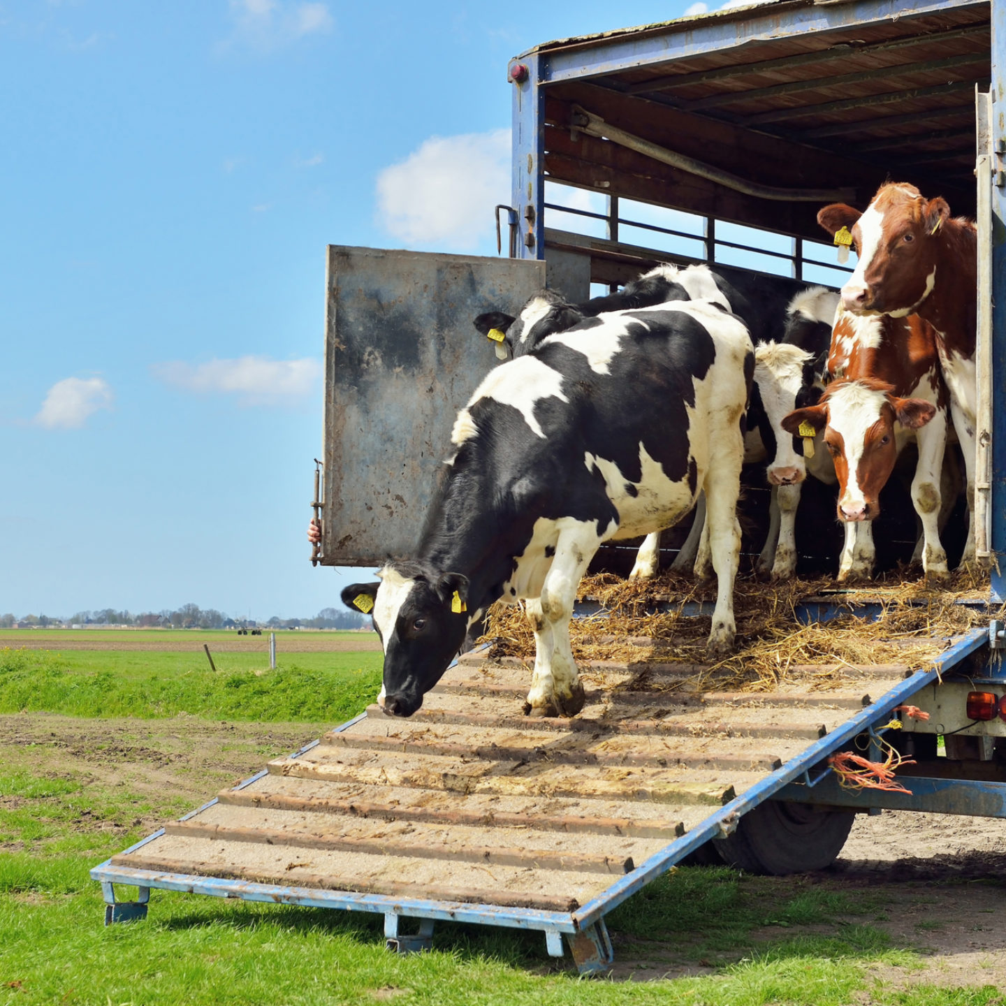 Cows being transported on trailer