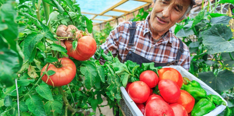 Man picking ripe tomatoes - Seven tips to shop at farmers market   NSF International