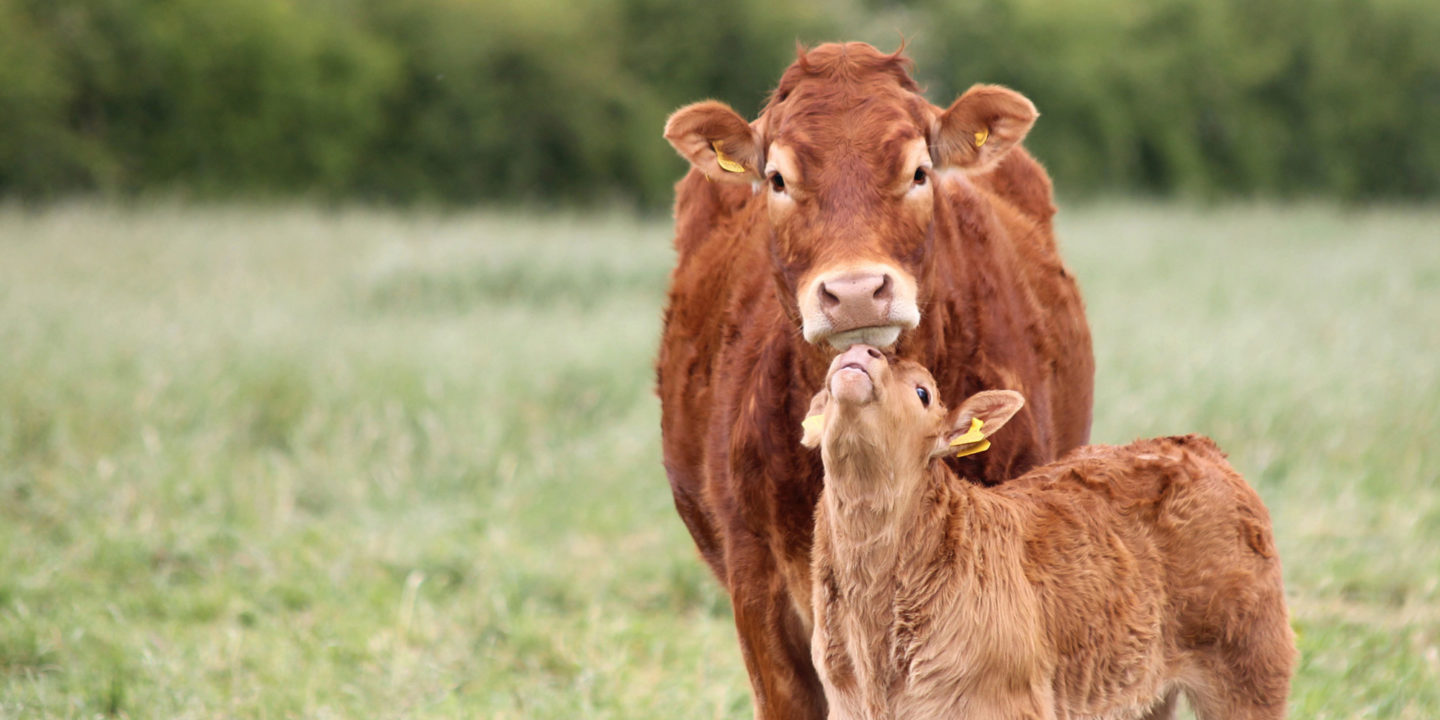 Mother cow with baby calf in a field