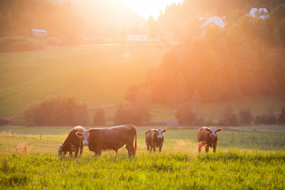 Cows in a sunny field