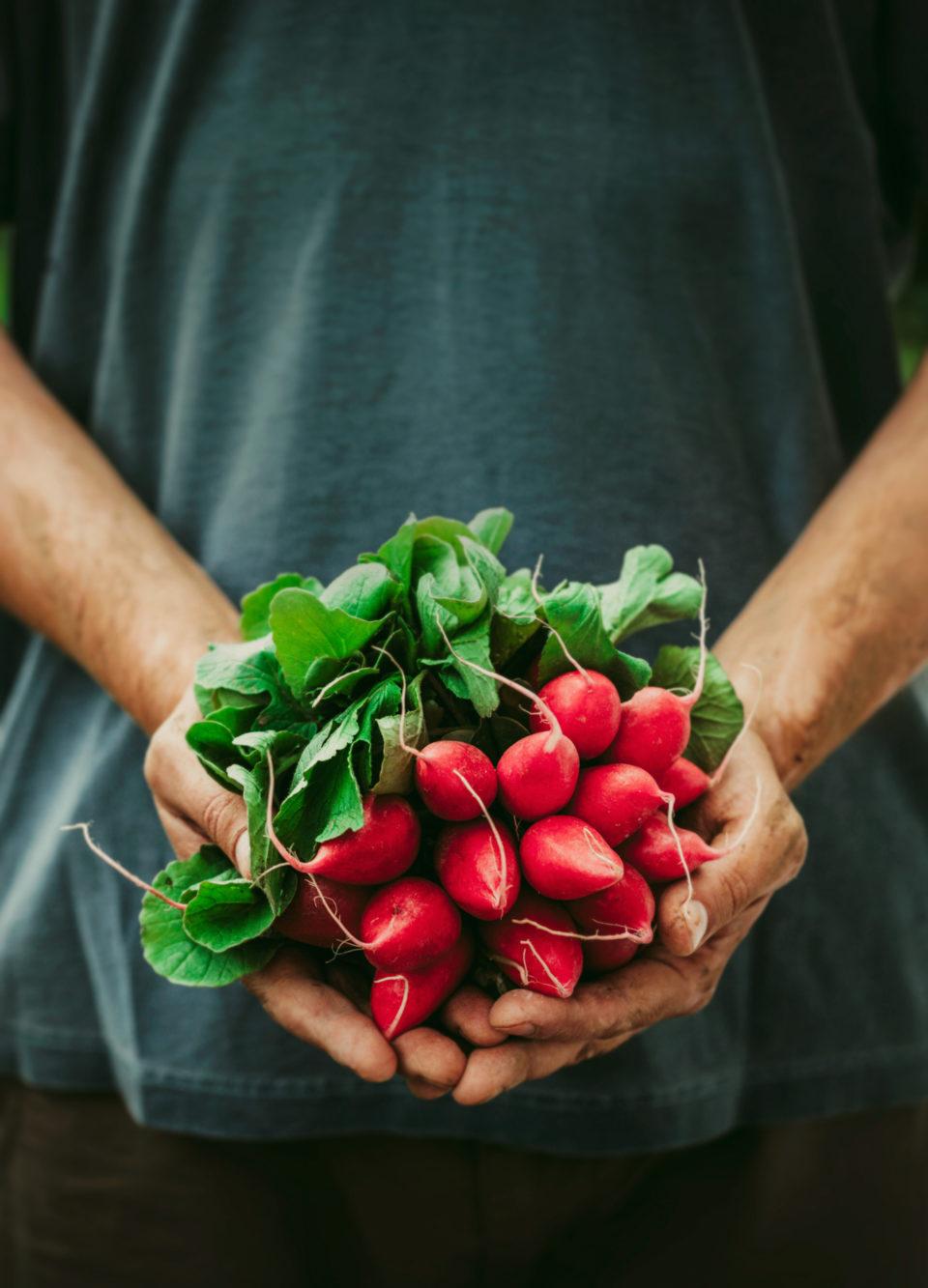 Farmers hands holding freshly harvested radishes