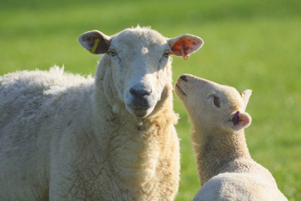 Sheep and lamb  on a farmland